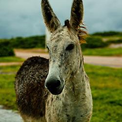Wild donkeys grazing, Baby Beach, Aruba