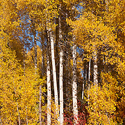 Golden leaves at the peak of their fall color frame the bright white trunks of several Quaking Aspens (Populus tremuloides) in the Wenatchee National Forest of Washington state.