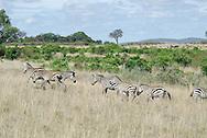 Common zebra ( Equus quagga ). Masai Mara National Park.  Kenya. Africa