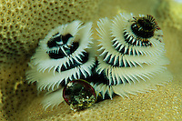A Christmas tree worm living on a coral.