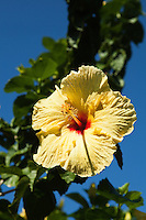 Hawaiian hibiscus are the seven known species of hibiscus regarded as native to Hawaii.  The yellow hibiscus is Hawaii's state flower.  Visitors regularly associate the hibiscus flower with their experiences visiting the US state of Hawaiii and the plant family Malvaceae includes a relatively large number of species that are native to the Hawaiian Islands,