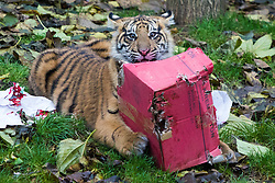 ZSL London Zoo, London, December 15th 2016. Christmas comes ten days early for the Sumatran tiger cubs at at ZSL London Zoo. Mother Melati and her two cubs Achilles and Karis wake up to Christmas presents in their enclosure and the two unruly six-month-old cubs set about opening them. PICTURED: Achilles unwraps his present.