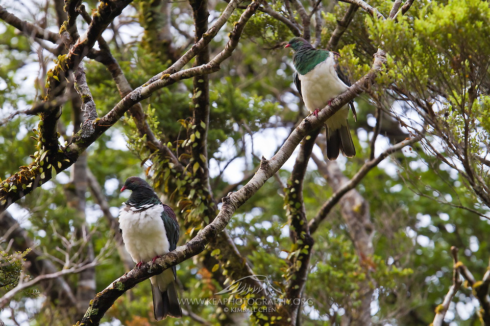 A pair of New Zealand wood pigeons at Fiordland, New Zealand
