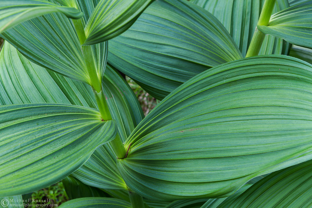 Leaves of a Corn Lily or False Hellebore (Veratrum viride) along the Flower Lake Loop Trail at Mount Seymour Provincial Park in North Vancouver, British Columbia, Canada