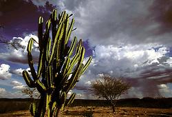 """Canudos, Bahia, Brasil. 12/1997..Vegetacao tipica da caatinga, que consiste em uma vegetacao de pequenas e espinhosas arvores. Do tupi, a palavra caatinga significa """"mata branca""""./ Typical vegetation of the Caatinga, a thorn forest, which consists primarily of small, thorny trees that shed their leaves seasonally.  Caatinga is a Tupi word meaning """"white forest"""" or """"white vegetation""""..Foto © Marcos Issa/Argosfoto"""