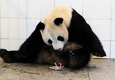JUN 28 2014 Giant panda Qing Qing carries her newly-born cub