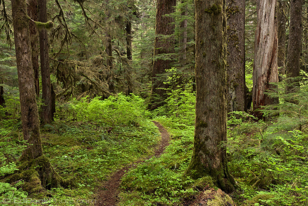 The trail to Harps Shelter winding through old growth coniferous forest near the Skokomish River in the Olympic National Forest, Washington, USA