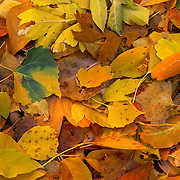 Brilliantly colored leaves fall to the ground as winter approaches in Great Smoky Mountains National Park, NC.