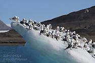 Flock of black-legged kittiwakes (Rissa tridactyla) rest on small iceberg amid glaciers and mountains of Kongsfjorden, Svalbard.