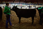 Beef Cattle Showing
