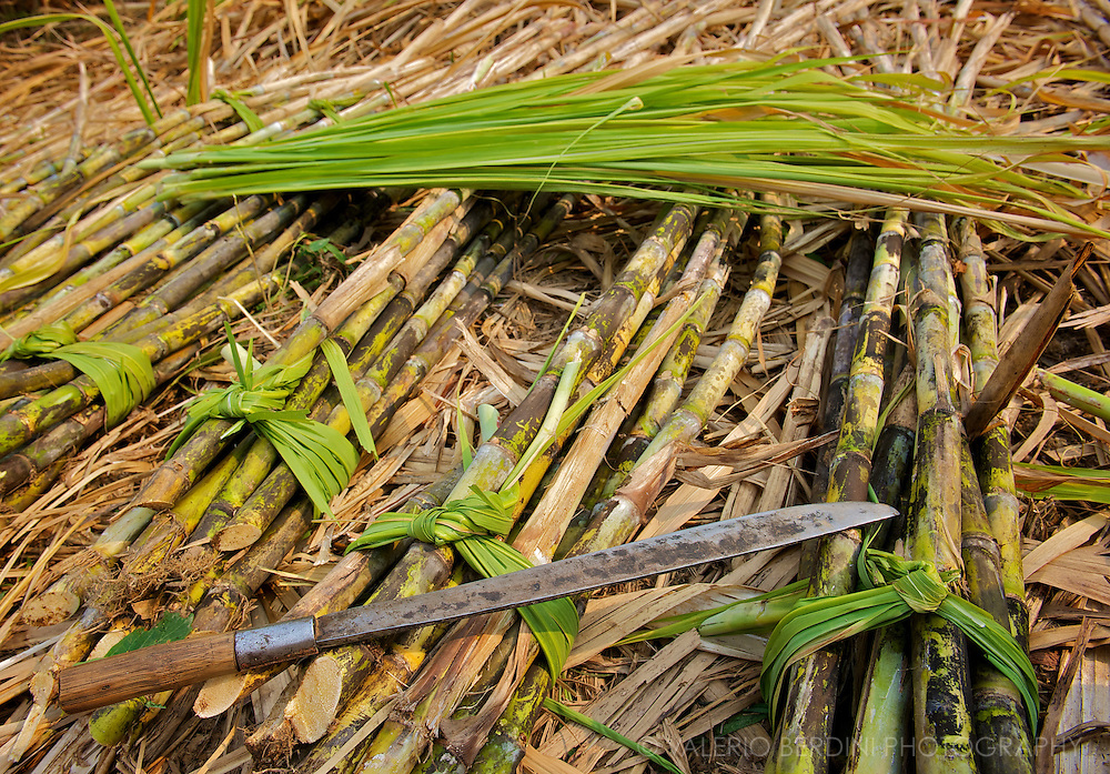 All parts of the sugar cane is used. The tender green leaves become strings to tie the fascines.