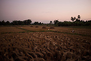 A wheat field, in Fang, Thailand. PHOTO TIAGO MIRANDA