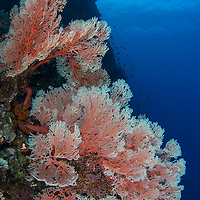 Red sea fan on coral reef, Maumere, Flores, Indonesia.