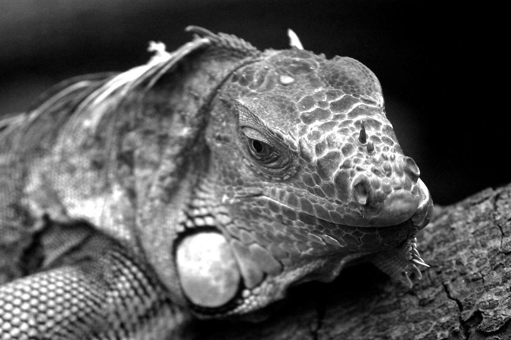 A black and white portrait of a (captive) Iguana