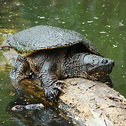 Snapping Turtle on Log