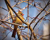 Inquisitive female Northern Red Cardinal perched in a sunny tree in my backyard. Winter nature in New Jersey. Image taken with a Nikon D2xs camera and 80-400 mm VR lens (ISO 400, 400 mm, f/5.6, 1/750 sec).