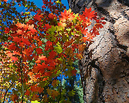 Vine maples along the south fork of Lake Creek in the Metolius Preserve