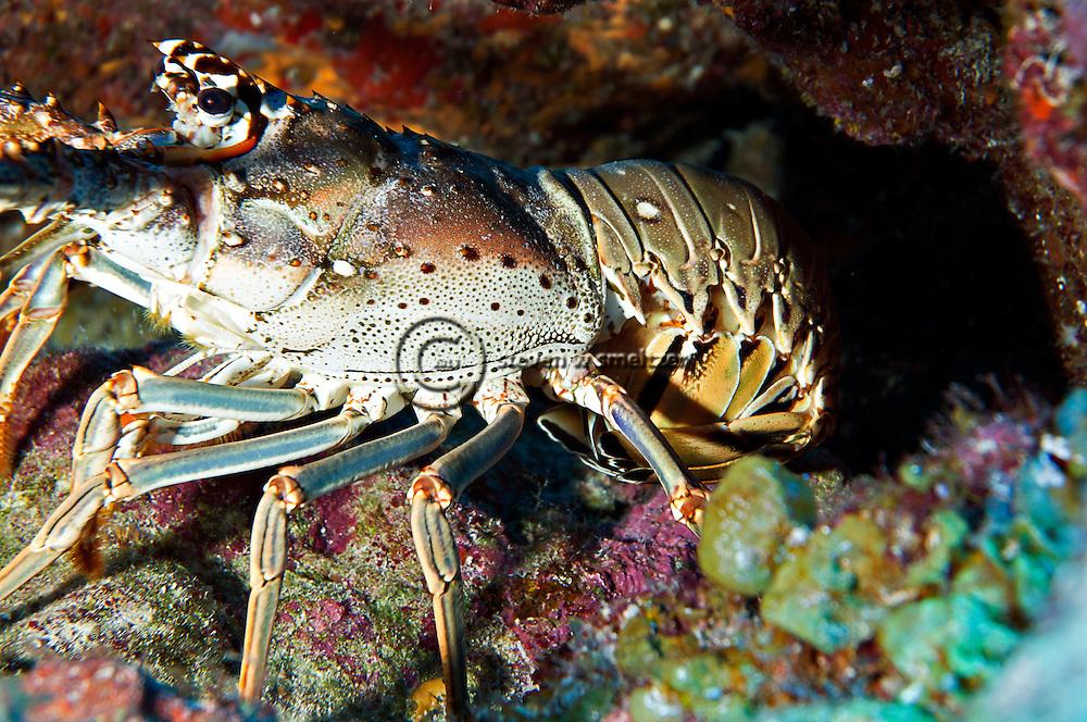 Spiny Lobster, Palinuridae argus, Latreille, 1804, hiding under ledge Grand Cayman