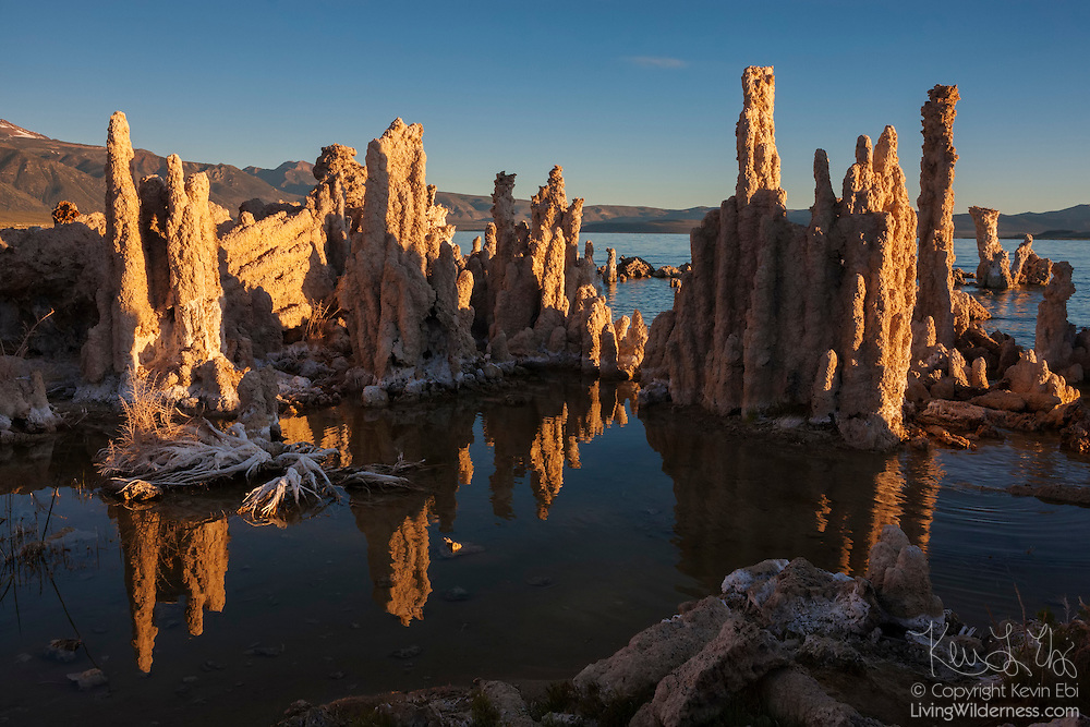 Several tufa columns are turned golden by the rising sun at Mono Lake, California. Tufa forms only underwater. When calcium-rich springs flow up through the lake bottom, the calcium bonds to the carbonates in the lake water, forming calcium carbonate, a type of limestone. The solid material builds on itself, gradually forming a tufa tower. The tufa towers form only underwater; they were exposed when the lake was drained to provide drinking water for cities. After environmental groups took legal action, less water is being diverted for cities and the lake is slowly refilling.