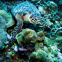 A hawksbill turtle rests on the coral reef near Roatan, Honduras.