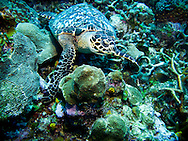 A hawksbill turtle rests on the coral reef near Roatan, Honduras.