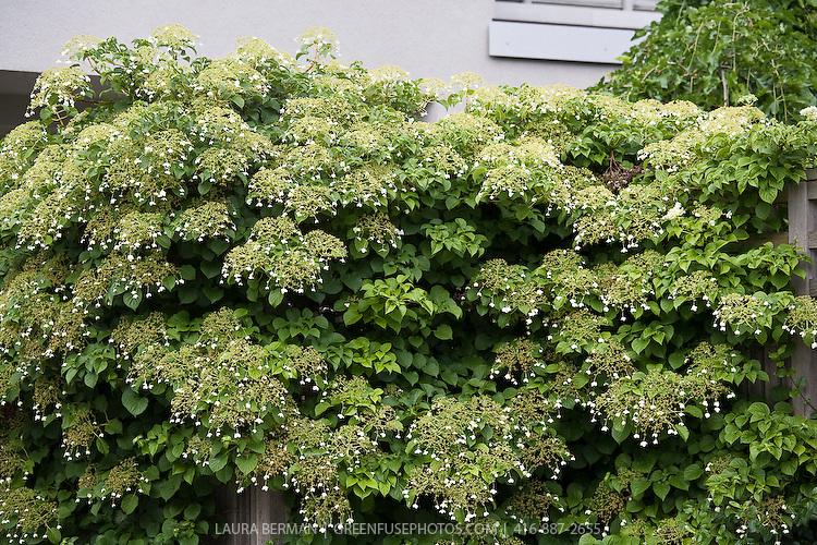 Climbing hydrangea (Hydrangea petiolaris) covering and arbour.