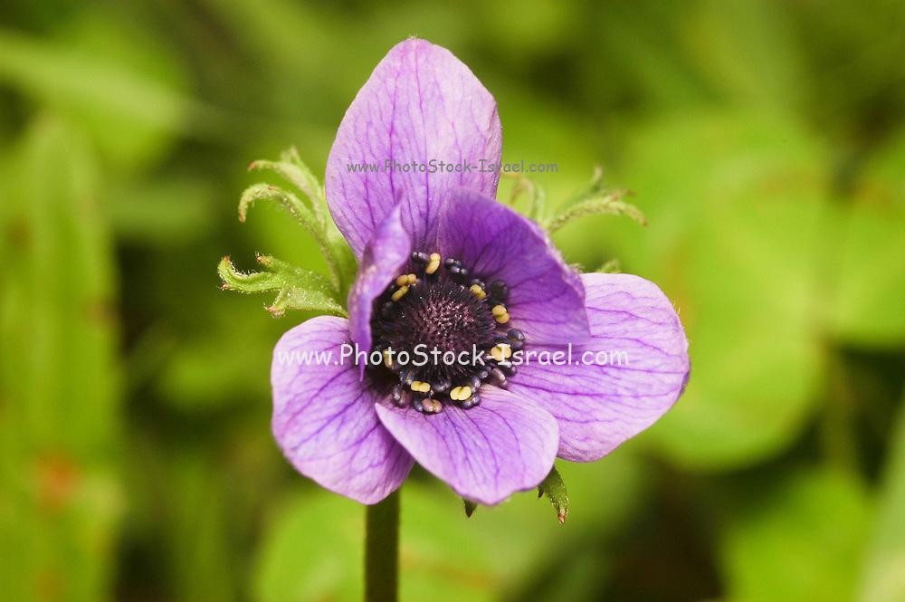 Israel, Purple Anemone coronaria AKA Spanish marigold or Kalanit (in Hebrew)