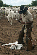 Cowboy 'Boiadeiro' (Sebasti&atilde;o Silva) and Pantanal calf to be ear marked.  They only cut a very small notch as these cattle use their ears as sun shades. Very important in the Pantanal heat during the summer months.<br /> Pantanal. Largest contiguous wetland system in the world. Mato Grosso do Sul Province. BRAZIL.  South America