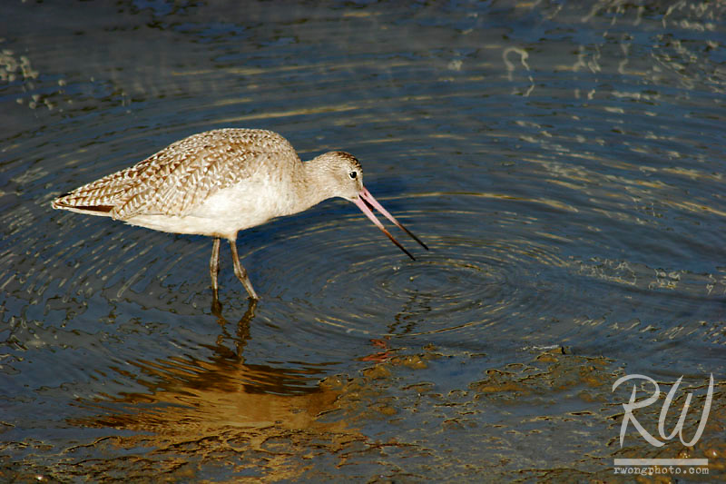 Marbled Godwit Feeding on Mussel, Bolsa Chica Ecological Reserve, California