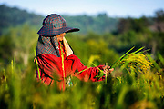 Hand Harvesting Green Rice in Nakhon Nayok, Thailand PHOTO BY LEE CRAKER