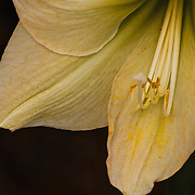 Closeup photo by Leandra Lewis of white amaryllis flower stained with pollen.