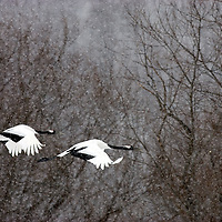 A pair of Japanese red-crowned cranes in flight.<br /> <br /> Canvas gallery wrapped print is 18x24&quot;.
