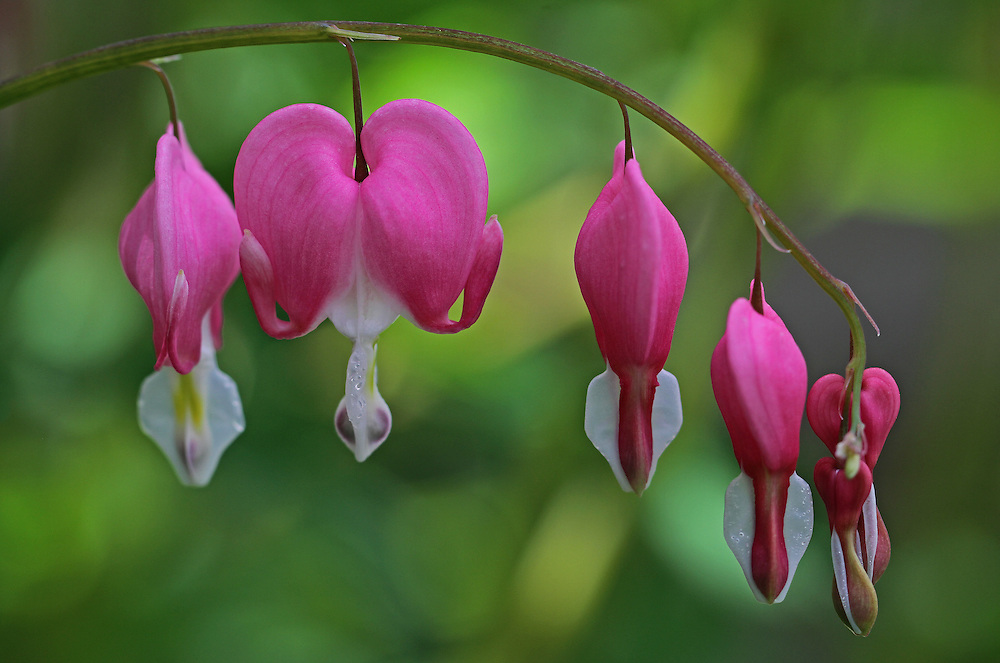 Bleeding heart floral close up photography art from flower photographer and Boston based master nature and flower photographer Juergen Roth. <br /> <br /> This floral photography art is available as museum quality photography prints, canvas prints, acrylic prints or metal prints. Fine art prints may be framed and matted to the individual liking and decorating needs:<br /> <br /> http://fineartamerica.com/featured/bleeding-hearts-on-a-line-juergen-roth.html<br /> <br /> All photos are available for photography image licensing at www.RothGalleries.com. Please contact me direct with any questions or request.<br /> <br /> Good light and happy photo making!<br /> <br /> My best,<br /> <br /> Juergen<br /> Prints: http://www.rothgalleries.com<br /> Photo Blog: http://whereintheworldisjuergen.blogspot.com<br /> Twitter: @NatureFineArt<br /> Instagram: https://www.instagram.com/rothgalleries<br /> Facebook: https://www.facebook.com/naturefineart