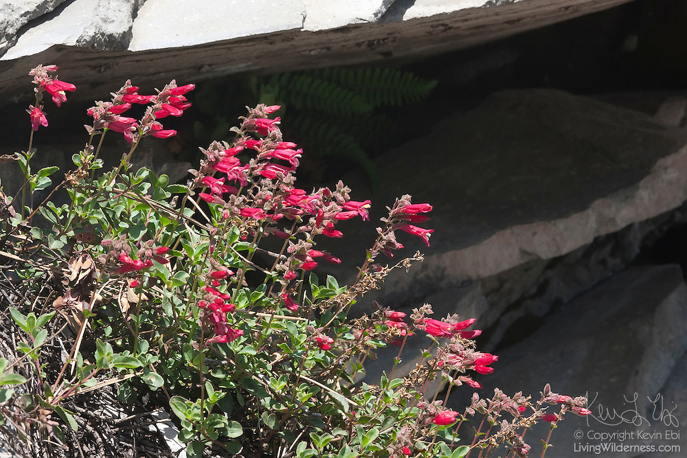 Scarlet gilia, a wildflower also known as skyrocket (Ipomopsis aggregata), blooms on a rocky bluff high above Kings Creek in Lassen Volcanic National Park, California.