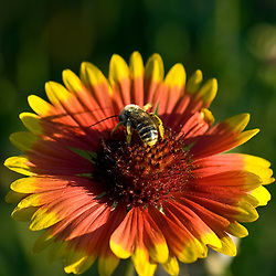 A large red and yellow gerbera daisy lures a honeybee on a late summer afternoon.