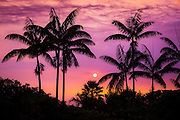 Sunset through silhouetted palm trees, Kona Coast, The Big Island, Hawaii