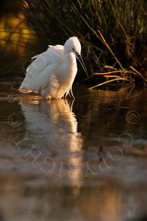 Little Egret (Egretta garzetta) adult, hunting in stream, Norfolk, England