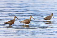 Hudsonian Godwits (Limosa fedoa) forage on the tidal flats of Hartney Bay near Cordova in Southcentral Alaska  during high tide to refuel on their long spring migration to the arctic. Afternoon.