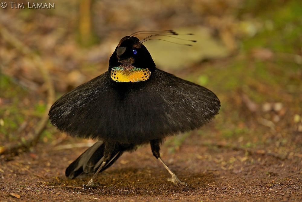 Western Parotia Bird of Paradise (Parotia sefilata).  Adult male at its display court, performing ballerina dance. . ..