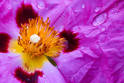 Rock Rose flower (Cistus pupureus) with crinkled petals and water drops.