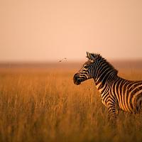 Africa, Kenya, Masai Mara Game Reserve, Plains Zebra (Equus burchelli) during Serengeti Migration