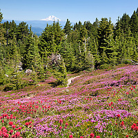 OR01671-00...OREGON - Brightly colored paintbrush and heather in a meadow along the McNeil Point Trail in the Mount Hood Wilderness area with a view of Mount Rainier and Mount Adams.