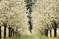 Cherry trees in blossom, Chehalem Mountain wine country, Oregon