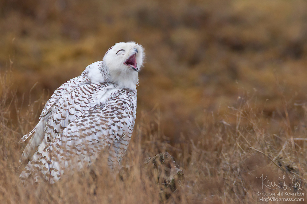 A Snowy Owl (Bubo scandiacus) yawns from its perch along Boundary Bay in southern British Columbia, Canada. Normally found in the Arctic, Snowy Owls occasionally winter farther south when food is scarce or there is too much competition for food.