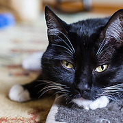 Tuxedo cat, domestic cat, black-and-white shorthair, with collar and tag, Socks