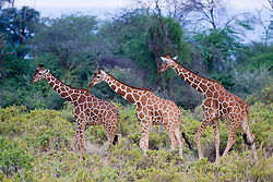 Giraffe at Samburu National Reserve, located on the banks of the Ewaso Ng'iro river in Kenya; Africa. There is a wide variety of animal and bird life seen at Samburu National Reserve / Girafa em Samburu, localizado no Rift Valley, no Quenia. Eh um dos grandes parques nacionais do Quenia, na Africa importante refugio de vida selvagem