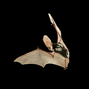 A spotted bat (Euderma maculatum) flying at night in the Kaibab National Forest, Arizona. (1.5 miles from the edge of the Grand Canyon). This lactating female was later tracked 17 miles back to her day roost in a crevice on the vertical face of a canyon wall in the Grand Canyon National Park. It is likely she had a pup waiting to feed upon her return after a nights hunting.