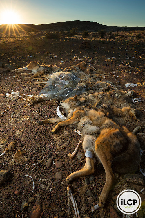 Carcasses jackals and caracal killed by a farmer during predator control operation and piled in a corner of the farm. South Africa, Western Cape, Koup, Antjieskraal farm, carnal of Black-backed Jackal (Canis mesomelas) and Caracal (Caracal caracal) in farm at sunrise / Carcasses de chacals et de caracals tués par un éleveur lors d'opération de contrôle des prédateurs et entassé dans un coin de la ferme.  South Africa, Western Cape, Koup, Antjieskraal farm