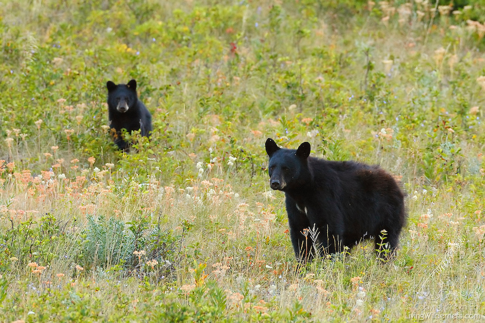 A black bear (Ursus americanus) watches out for her cub in a meadow in Waterton Lakes National Park, Alberta, Canada.