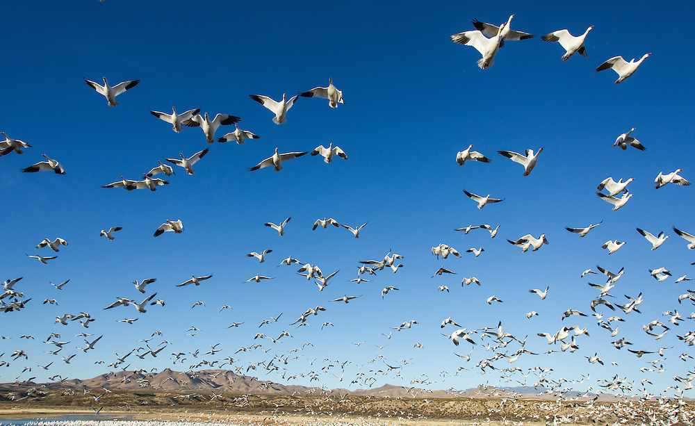 USA, New Mexico, Bosque del Apache National Wildlife Refuge, Snow Geese (Chenhyperborea hyperborea) taking off from frozen lake in Rio Grande Valley on winter morning
